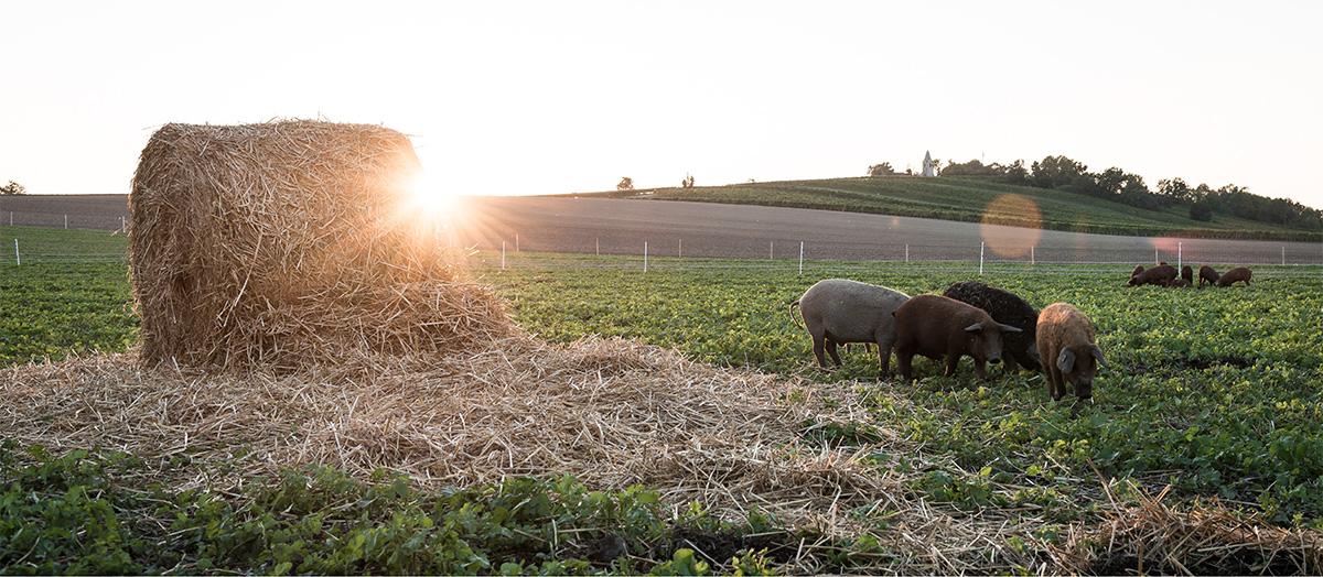 Slider-Image-Schweine